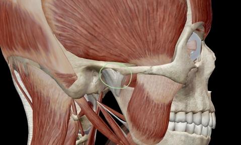 Височно-нижнечелюстной сустав - ВНЧС, зубы  и жевательная мускулатура