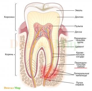 Периодонтит. Заболевание прошло все стадии кариеса, поразило пульпу и «вышло» из апекса зуба в периодонтальную связку. Отсюда и название